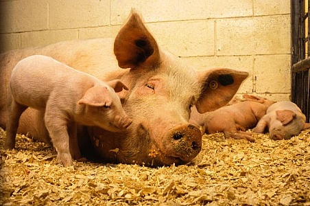 piglets-with-pig